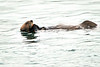 Sea_Otter_August_2020_Kodiak_Alaska_0090