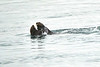 Sea_Otter_August_2020_Kodiak_Alaska_0008