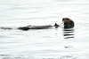Sea_Otter_August_2020_Kodiak_Alaska_0087
