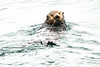 Sea_Otter_August_2020_Kodiak_Alaska_0003