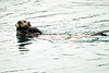 Sea_Otter_August_2020_Kodiak_Alaska_0095