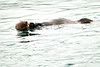 Sea_Otter_August_2020_Kodiak_Alaska_0091
