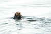 Sea_Otter_August_2020_Kodiak_Alaska_0002