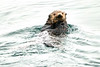 Sea_Otter_August_2020_Kodiak_Alaska_0004