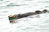 Sea_Otter_August_2020_Kodiak_Alaska_0001