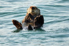 Sea_Otter_August_2020_Kodiak_Alaska_0085