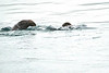Sea_Otter_August_2020_Kodiak_Alaska_0006
