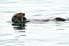 Sea_Otter_August_2020_Kodiak_Alaska_0088