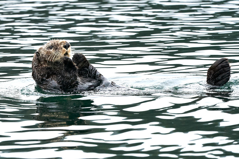 Sea_Otter_August_2020_Kodiak_Alaska_0083