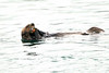 Sea_Otter_August_2020_Kodiak_Alaska_0089