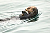 Sea_Otter_August_2020_Kodiak_Alaska_0005