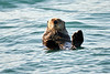 Sea_Otter_August_2020_Kodiak_Alaska_0084