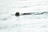 Sea_Otter_August_2020_Kodiak_Alaska_0007