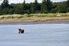 White_Wolf_Hallo_Bay_August_2020_Katmai_Alaska_0015