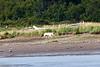 White_Wolf_Hallo_Bay_August_2020_Katmai_Alaska_0006