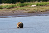 White_Wolf_Hallo_Bay_August_2020_Katmai_Alaska_0012