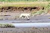 White_Wolf_Hallo_Bay_August_2020_Katmai_Alaska_0001