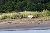 White_Wolf_Hallo_Bay_August_2020_Katmai_Alaska_0010
