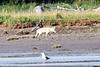 White_Wolf_Hallo_Bay_August_2020_Katmai_Alaska_0004