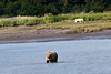 White_Wolf_Hallo_Bay_August_2020_Katmai_Alaska_0013