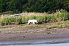 White_Wolf_Hallo_Bay_August_2020_Katmai_Alaska_0009