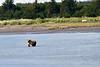 White_Wolf_Hallo_Bay_August_2020_Katmai_Alaska_0014