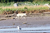White_Wolf_Hallo_Bay_August_2020_Katmai_Alaska_0005