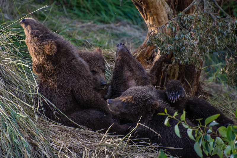 Spring Cubs at Brooks Falls