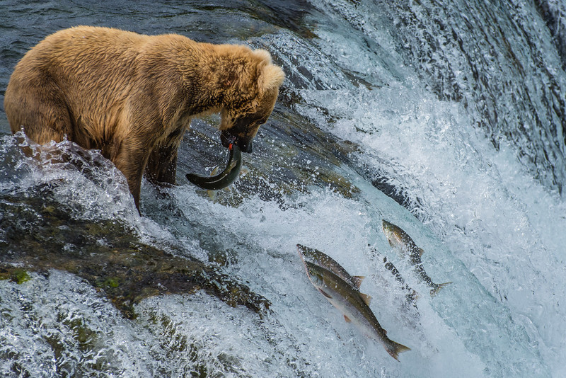 The Sockeye Salmon Run of Brooks Falls