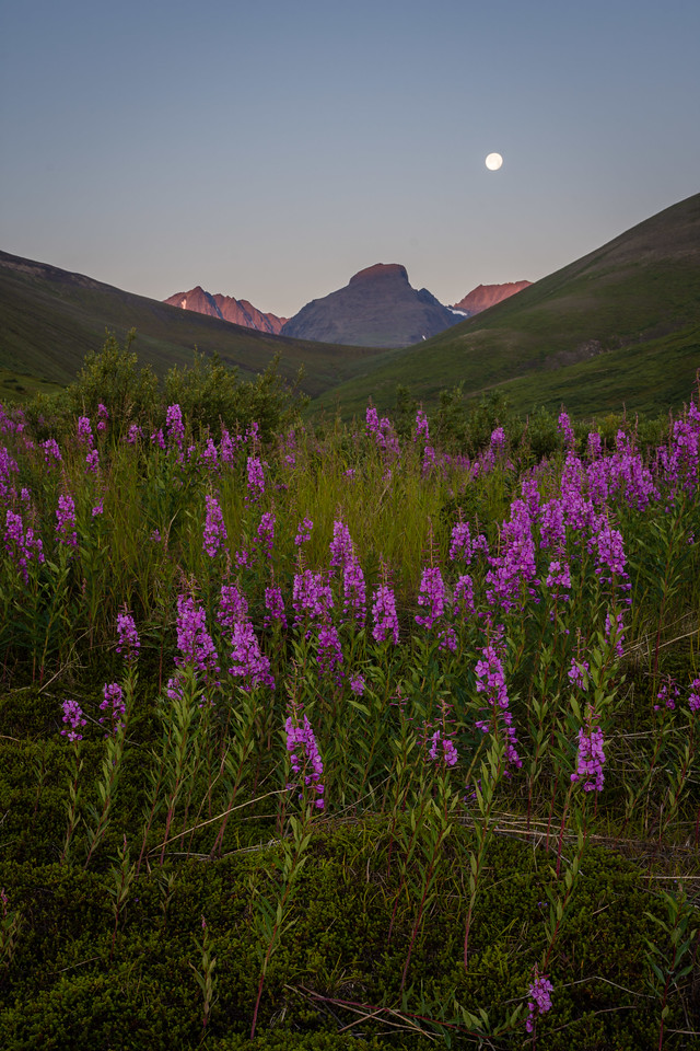 Unnamed Peaks and Fireweed Blooms