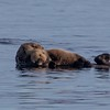 Female Sea Otter with her large pup resting on her belly