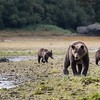 Mother and cubs heading upstream to fish