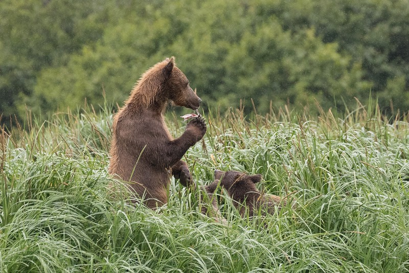 Sow munching on a piece of fish watched by her cubs