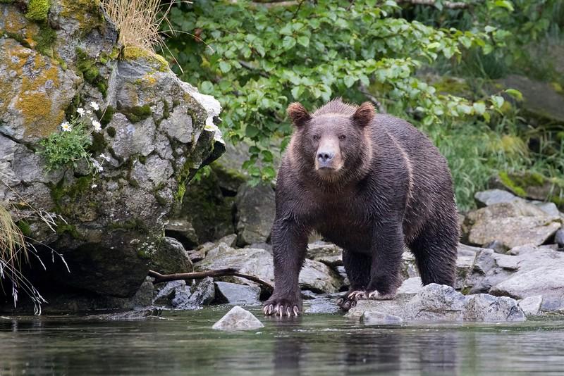 Brown bear watching for salmon at Kuliak Bay