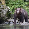 Brown bear watching for salmon at Kuliak Bay