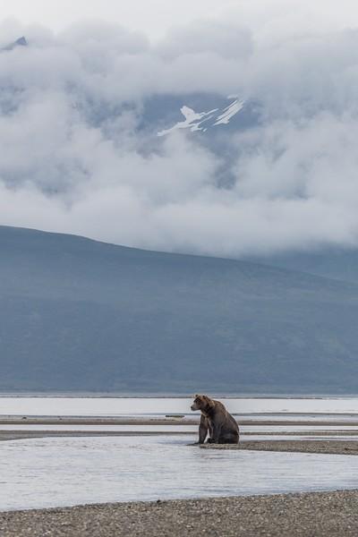 Brown Bear boar alert for salmon in Hallo Bay