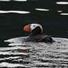 Tufted Puffin off Kodiak Island