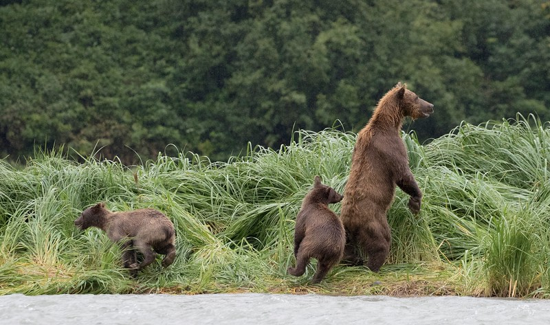 Bear and her cubs spooked by the arrival of another bear
