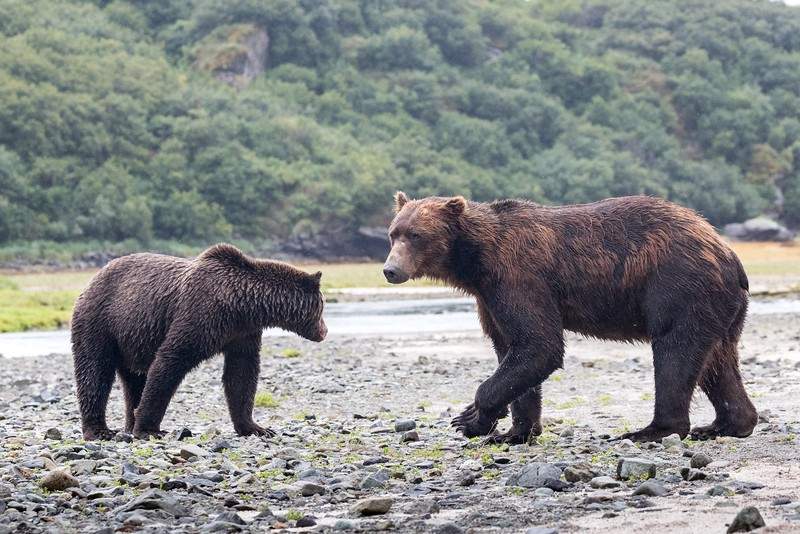 Male brown bears may be twice the size of females