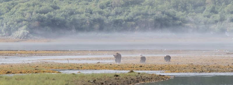 Mother and cubs on a misty morning in Geographic Harbor