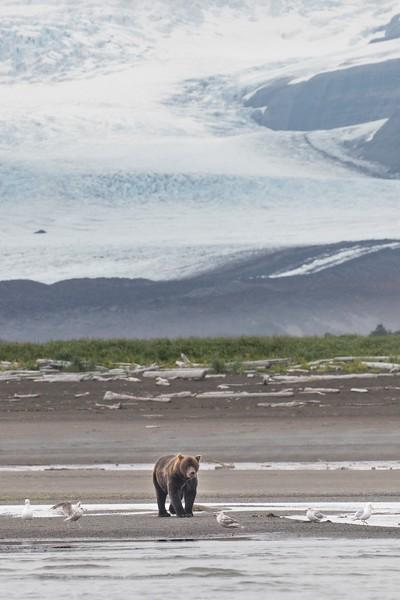 Brown Bear boar with Hallo Glacier as a backdrop