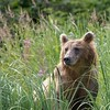 Bear in the sedge meadow