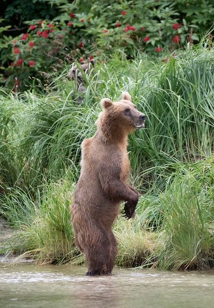 Brown bear sow checking for safety before bringing her two cubs-of-the year out