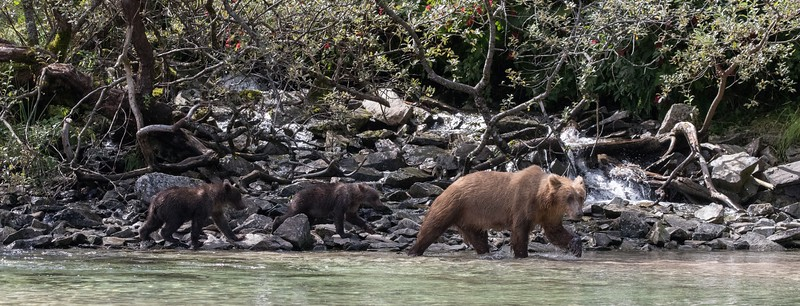 Checking along the river for salmon with cubs in tow