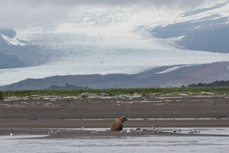 Brown Bear sow watching for salmon in Hallo Bay