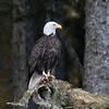Majestic American Bald Eagle watching its newly fledged chick