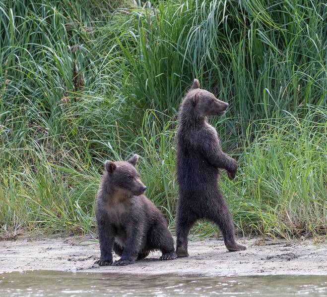 Two cubs-of-the year watching mum fishing