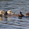 Sea Otter pals