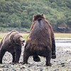 Feisty female bear sees off a much larger male bear