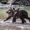 Brown bear cubs frolicking in the salmon stream